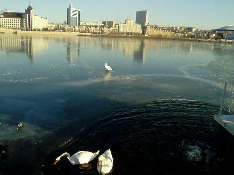 Наозере Кабан опять спасали лебедей