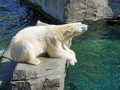 «Роснефть» стала покровителем белой медведицы изКазанского зооботсада