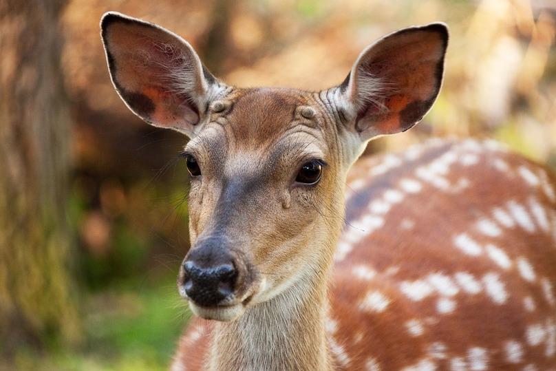 Влеса Татарстана выпустят краснокнижных пятнистых оленей имаралов