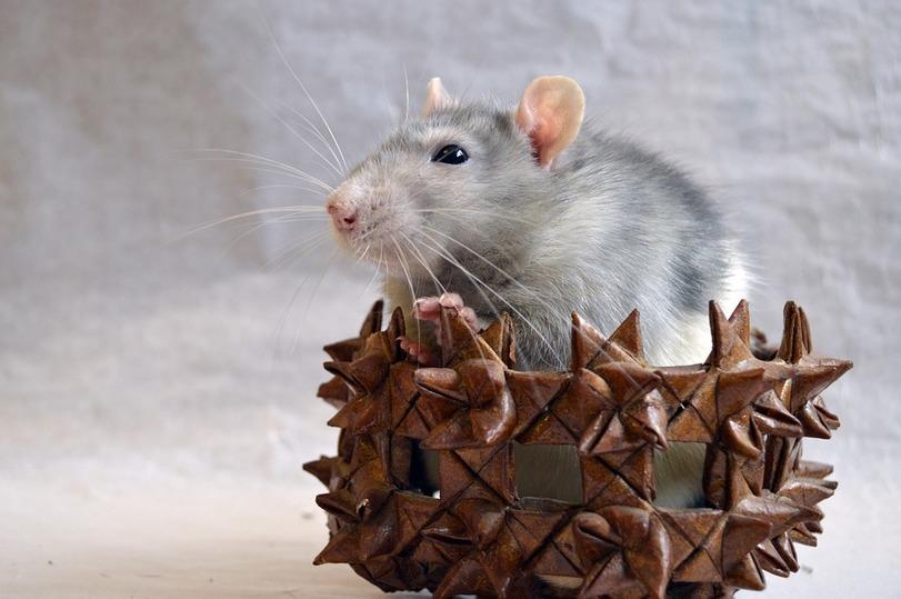 ВКазани крыс проверят на находчивость